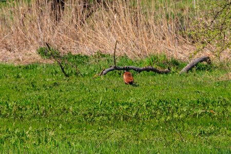 Pheasant in green grass on a meadow