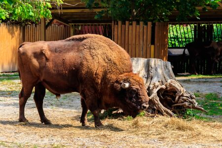 American bison (Bison bison), also known as buffalo in a paddock at farmyard Foto de archivo