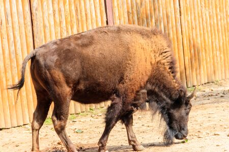 European bison (Bison bonasus), also known as wisent, auroch in a paddock at farmyard