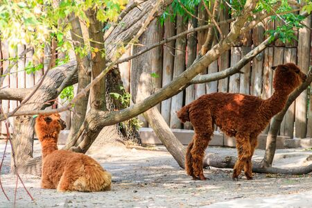 Brown alpacas (Vicugna pacos) on farmyard