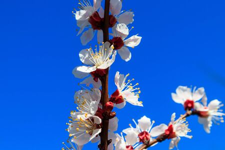 Blossom of apricot tree against blue sky