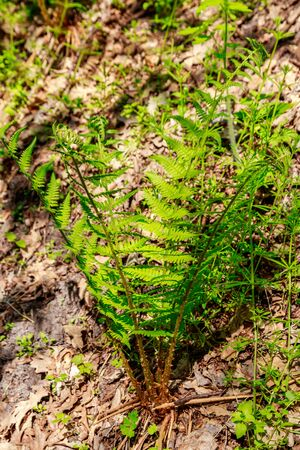 Green fern in a forest