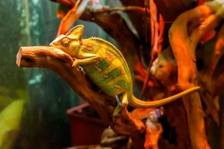 Green chameleon reptile sitting inside of terrarium 版權商用圖片