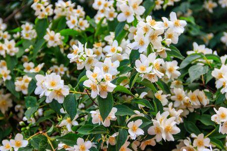 White jasmine flowers on a bush in garden