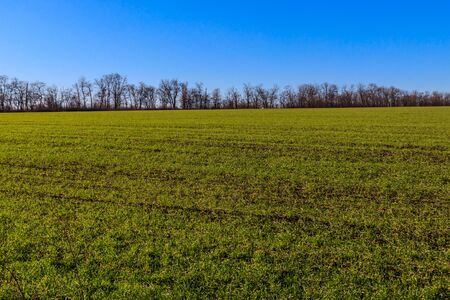 Field of young green wheat at spring
