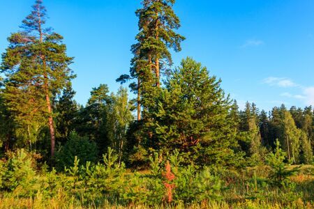 View of a green coniferous forest at summer
