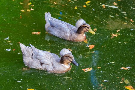 Crested ducks swimming in a lake