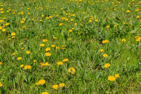 Green meadow covered with yellow dandelions at spring Banco de Imagens