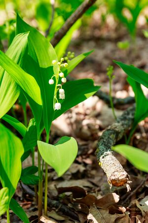 Lily of the valley (Convallaria majalis) white flowers in forest at spring Banco de Imagens