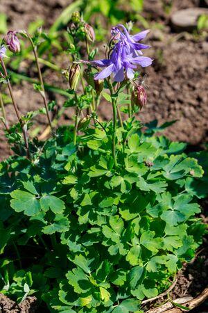 Delicate columbine flower (Aquilegia vulgaris) in garden