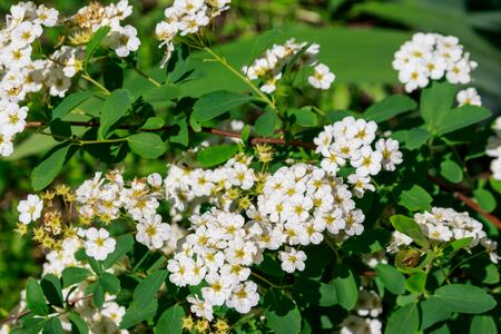 White flowering shrub Spirea aguta (Brides wreath) Banco de Imagens - 140803753