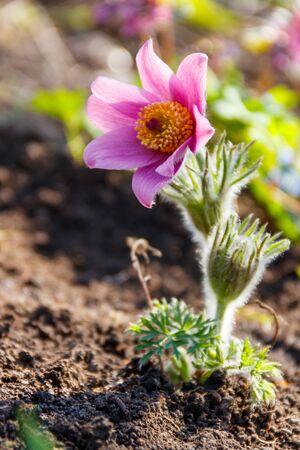 Eastern pasqueflower (Pulsatilla patens), also known as prairie crocus, cutleaf anemone, rock lily 版權商用圖片 - 143044043