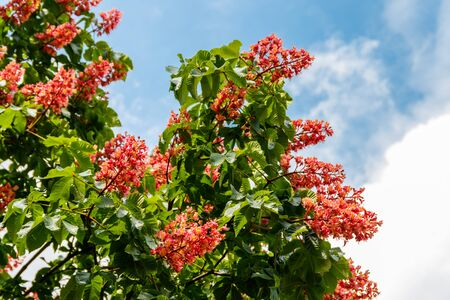 Blooming red horse-chestnut (Aesculus × carnea) at spring Foto de archivo