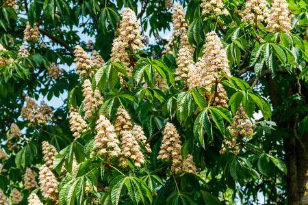 Blossoming branches of chestnut tree (Aesculus hippocastanum) 版權商用圖片
