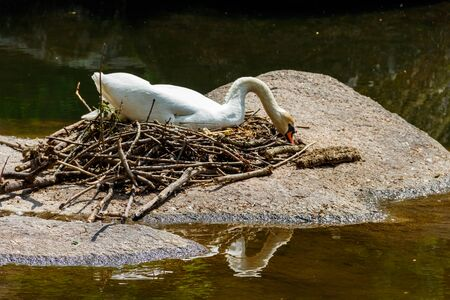 White swan sitting on a nest on a stone in lake