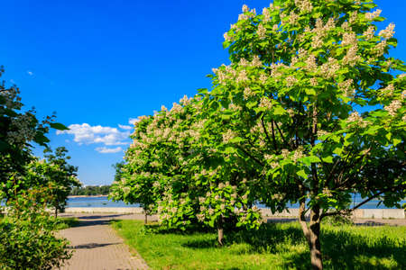 Beautiful blooming catalpa trees in a park