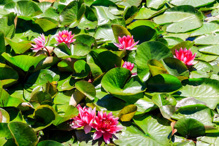 Pink water lily (Nymphaea) in a lake