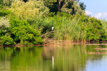 Great egret (White heron) standing on a tree branch near a river 写真素材 - 152418936