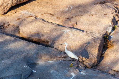 Little egret (Egretta garzetta) standing on a stone 写真素材 - 152468427