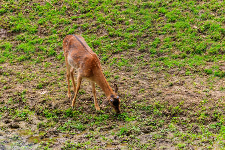 Young deer grazing on a green meadow Stock fotó