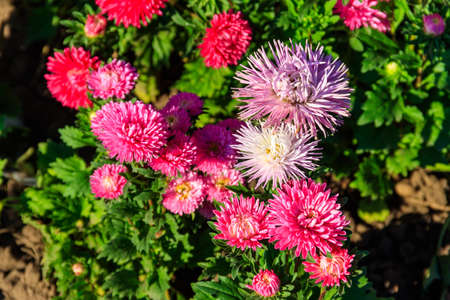 Multicolored asters on flower bed in the garden 写真素材