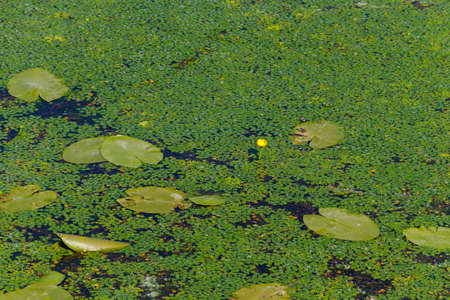 Yellow water lily and duckweed in a lake 免版税图像