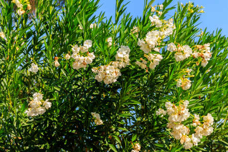 Blooming white Nerium oleander in a garden 写真素材