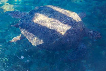 Sea turtle swimming in the Mediterranean Sea