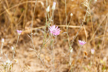 Xeranthemum annuum also known as annual everlasting or immortelle on a meadow 免版税图像