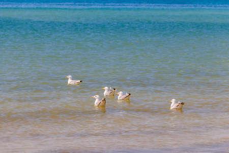 Flock of seagulls swimming in the Black sea 写真素材