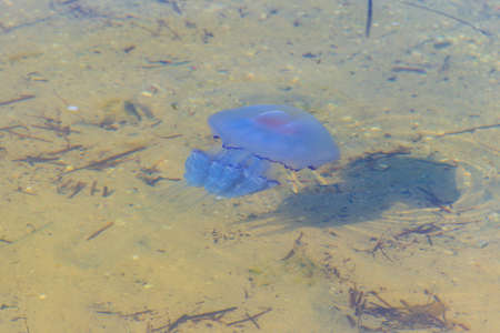 Rhizostoma pulmo, commonly known as barrel jellyfish, dustbin-lid jellyfish or frilly-mouthed jellyfish floating in a sea 写真素材