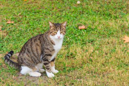 Beautiful tabby cat on a green lawn
