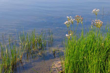 Flowering Rush or Grass Rush (Butomus umbellatus) on a river shore 写真素材