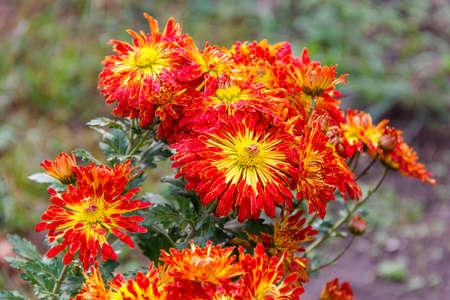 Orange chrysanthemum in a garden