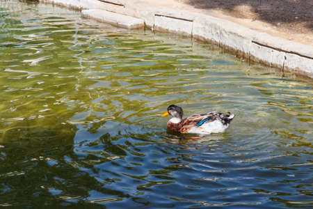 Domestic duck swimming in a pond 写真素材