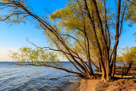 Willow trees on the shore of a lake 免版税图像