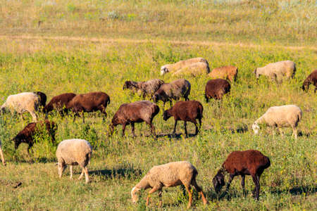 Flock of sheep grazing on a green meadow