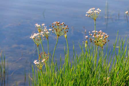 Flowering Rush or Grass Rush (Butomus umbellatus) on a river shore Stock fotó