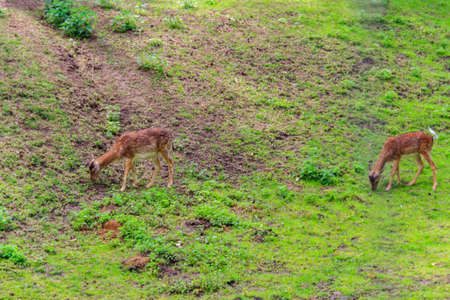 Young deer grazing on a green meadow