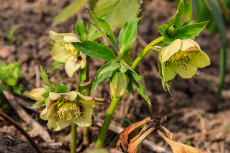 Green hellebore flower on flowerbed in garden