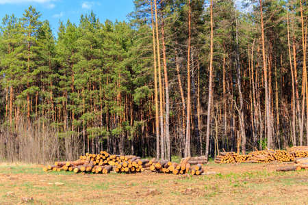 Stacked tree trunks felled by the logging timber industry in pine forest 写真素材