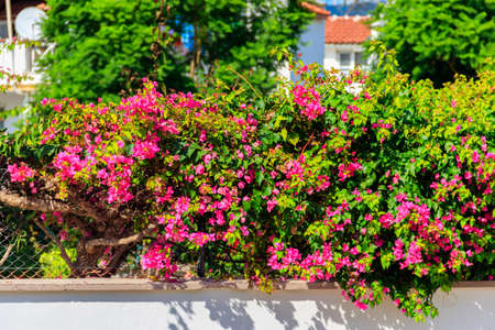 Beautiful blooming bougainvillea in garden