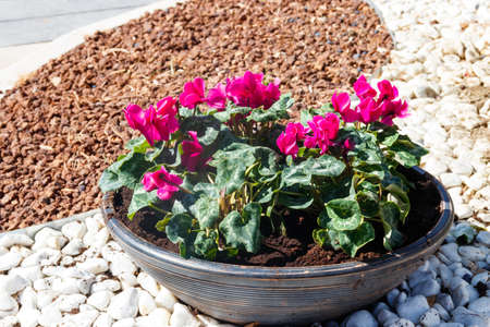 Persian cyclamen (Cyclamen persicum) flowers in a big flower pot in a garden 写真素材