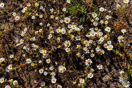 White chamomile flowers on a meadow at spring Banque d'images