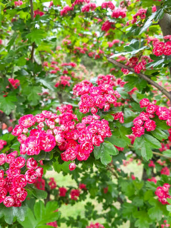 Beautiful pink blossom of hawthorn at spring