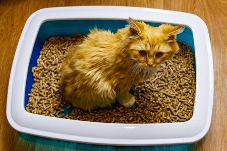 Ginger cat in cat's litter box