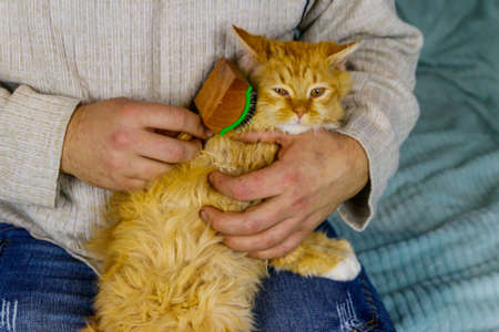 Man with a pet slicker brush brushing a fur of fluffy ginger cat