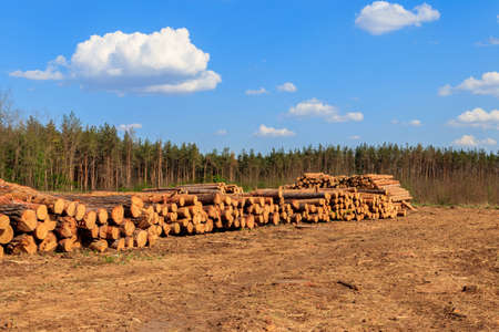 Stacked tree trunks felled by the logging timber industry in pine forest Archivio Fotografico