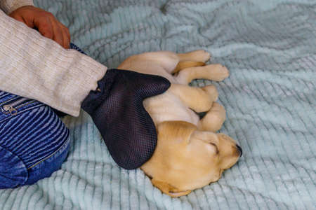Man with a pet grooming glove brushing a fur of labrador retriever puppy