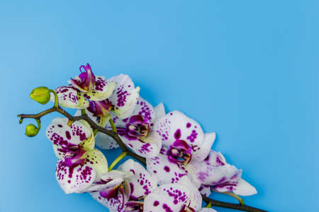 Branch of orchid phalaenopsis on pastel blue background. Top view, copy space